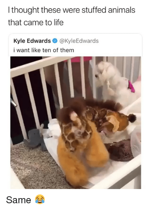 Animals, Life, and Girl Memes: I thought these were stuffed animals  that came to life  Kyle Edwards @KyleEdwards  i want like ten of them Same 😂