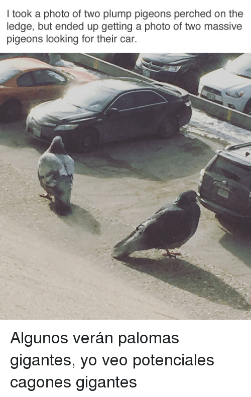 Yo, Car, and Looking: I took a photo of two plump pigeons perched on the  ledge, but ended up getting a photo of two massive  pigeons looking for their car. <p>Algunos verán palomas gigantes, yo veo potenciales cagones gigantes</p>