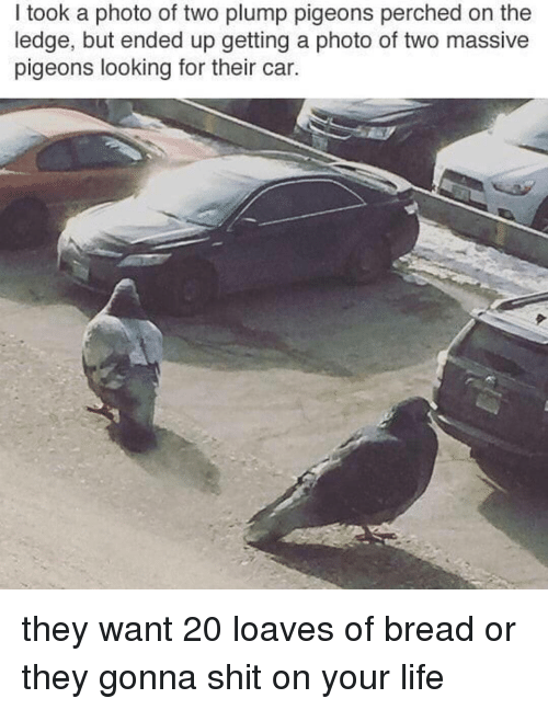 Life, Memes, and 🤖: I took a photo of two plump pigeons perched on the  ledge, but ended up getting a photo of two massive  pigeons looking for their car. they want 20 loaves of bread or they gonna shit on your life