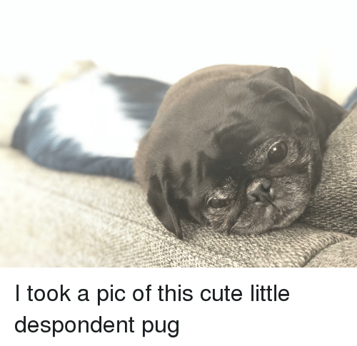 Cute, Pug, and This