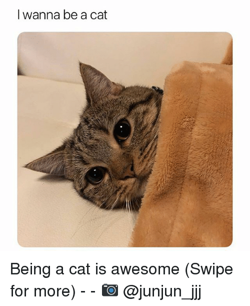 Funny, Awesome, and Cat: I wanna be a cat Being a cat is awesome (Swipe for more) - - 📷 @junjun_jjj