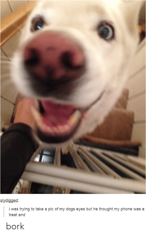 Dogs, Phone, and Tumblr: i was trying to take a pic of my dogs eyes but he thought my phone was a  treat and bork