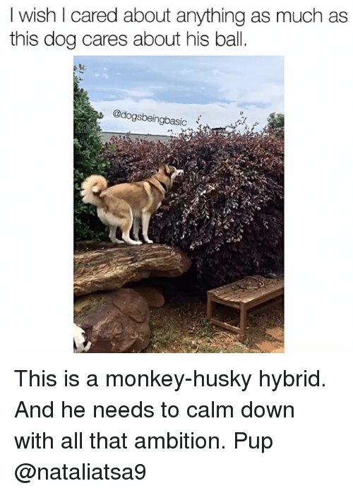 Memes, Husky, and Monkey: I wish cared about anything as much as  this dog cares about his ball.  @dogsbeingbasic This is a monkey-husky hybrid. And he needs to calm down with all that ambition. Pup @nataliatsa9