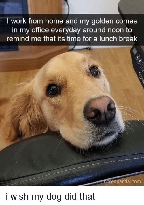 Work, Break, and Home: I work from home and my golden comes  in my office everyday around noon to  remind me that its time for a lunch break  oredpanda.com i wish my dog did that