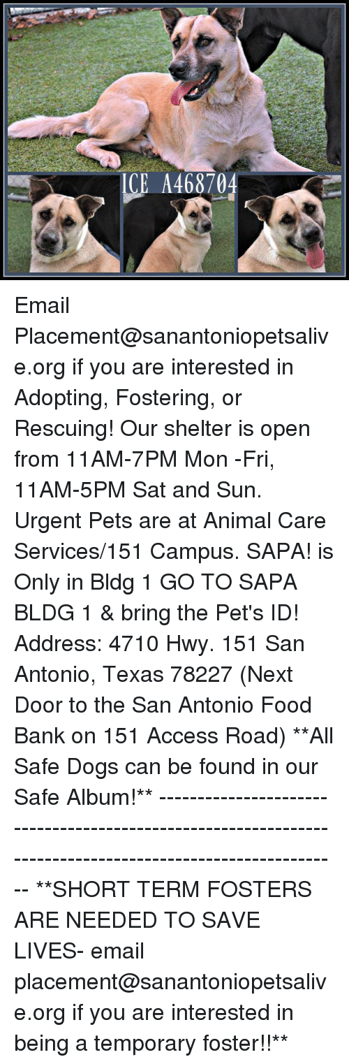Dogs, Food, and Memes: ICE A468704 Email Placement@sanantoniopetsalive.org if you are interested in Adopting, Fostering, or Rescuing!  Our shelter is open from 11AM-7PM Mon -Fri, 11AM-5PM Sat and Sun.  Urgent Pets are at Animal Care Services/151 Campus. SAPA! is Only in Bldg 1 GO TO SAPA BLDG 1 & bring the Pet's ID! Address: 4710 Hwy. 151 San Antonio, Texas 78227 (Next Door to the San Antonio Food Bank on 151 Access Road)  **All Safe Dogs can be found in our Safe Album!** ---------------------------------------------------------------------------------------------------------- **SHORT TERM FOSTERS ARE NEEDED TO SAVE LIVES- email placement@sanantoniopetsalive.org if you are interested in being a temporary foster!!**