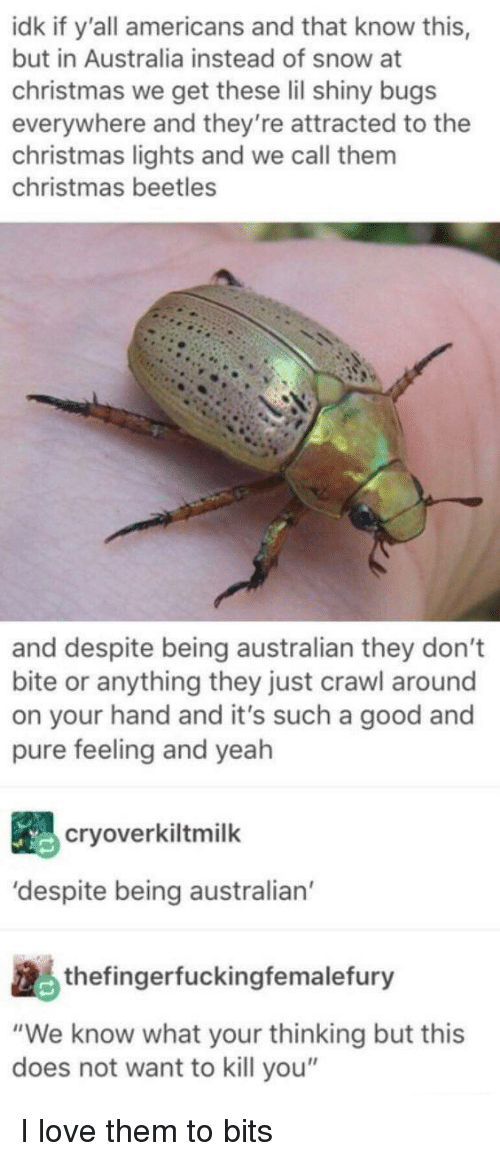 """Christmas, Love, and Yeah: idk if y'all americans and that know this,  but in Australia instead of snow at  christmas we get these lil shiny bugs  everywhere and they're attracted to the  christmas lights and we call them  christmas beetles  and despite being australian they don't  bite or anything they just crawl around  on your hand and it's such a good and  pure feeling and yeah  cryoverkiltmilk  'despite being australian  thefingerfuckingfemalefury  """"We know what your thinking but this  does not want to kill you"""" I love them to bits"""