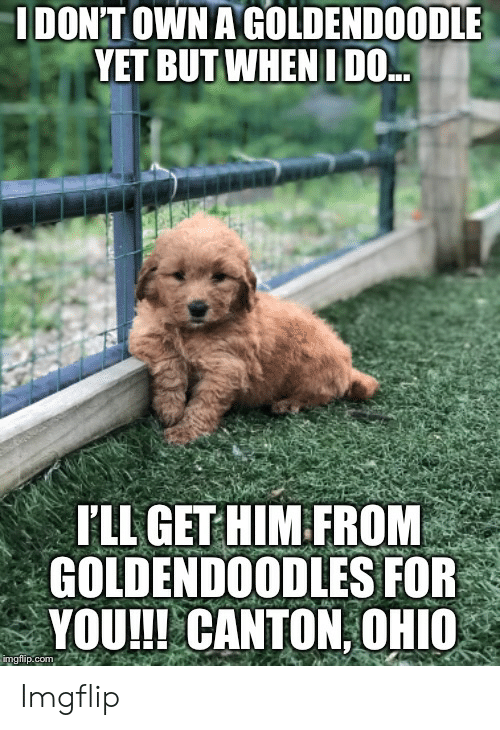 IDONT OWN a GOLDENDOODLE YET BUT WHEN I DO I'LL GET HIM FROM