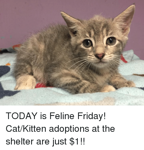 Cats, Friday, and Memes: ie TODAY is Feline Friday! Cat/Kitten adoptions at the shelter are just $1!!