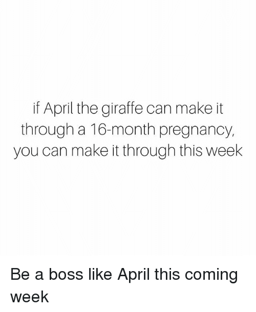 Memes, Giraffe, and Pregnancy: if April the giraffe can make it  through a 16-month pregnancy  you can make it through this week Be a boss like April this coming week