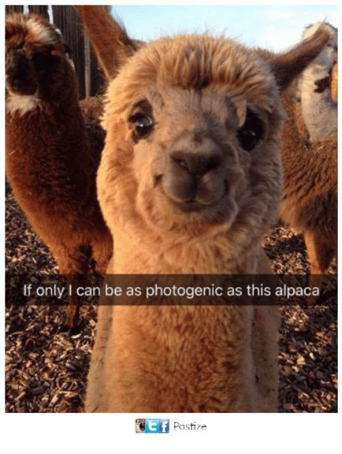 Funny, Tumblr, and Alpaca: If only I can be as photogenic as this alpaca  Ef  Postize