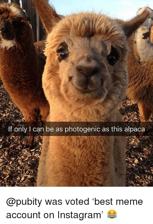 Funny, Instagram, and Meme: If only I can be as photogenic as this alpaca @pubity was voted 'best meme account on Instagram' 😂