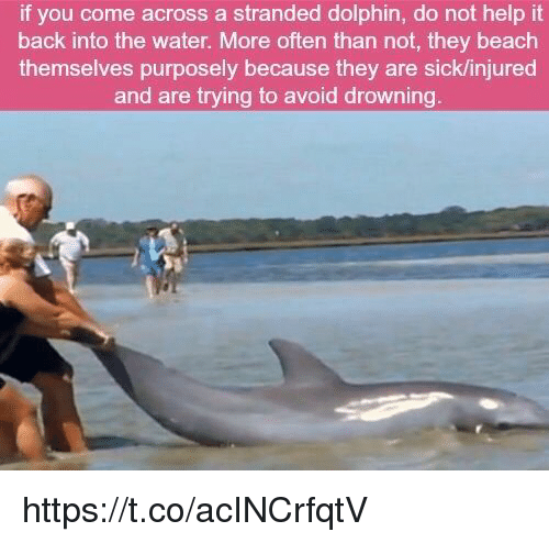 Beach, Dolphin, and Help: if you come across a stranded dolphin, do not help it  back into the water. More often than not, they beach  themselves purposely because they are sicklinjured  and are trying to avoid drowning https://t.co/acINCrfqtV