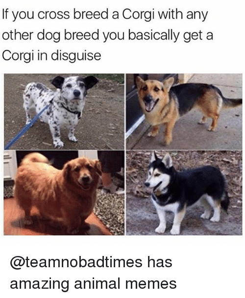 Corgi, Funny, and Memes: If you cross breed a Corgi with any  other dog breed you basically get a  Corgi in disguise @teamnobadtimes has amazing animal memes