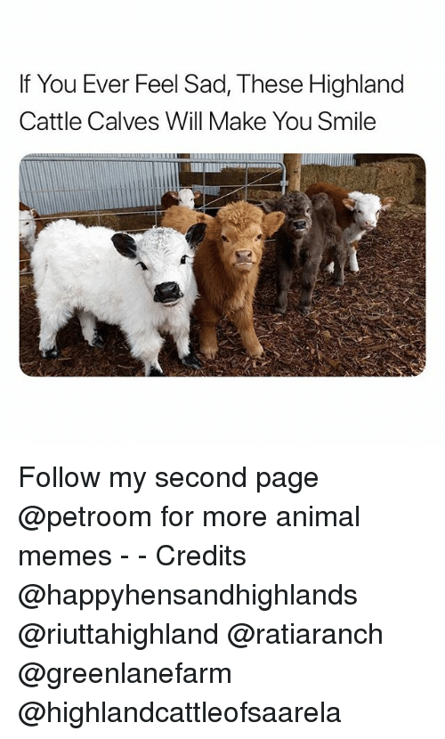 Funny, Memes, and Animal: If You Ever Feel Sad, These Highland  Cattle Calves Will Make You Smile  ILLILmml Follow my second page @petroom for more animal memes - - Credits @happyhensandhighlands @riuttahighland @ratiaranch @greenlanefarm @highlandcattleofsaarela