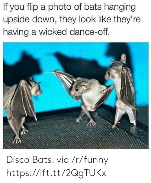 Funny, Wicked, and Dance: If you flip a photo of bats hanging  upside down, they look like they're  having a wicked dance-off. Disco Bats. via /r/funny https://ift.tt/2QgTUKx