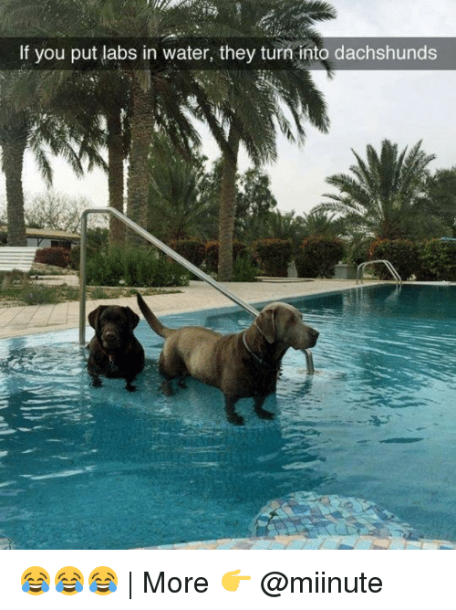Funny, Water, and They: If you put labs in water, they turn into dachshunds 😂😂😂 | More 👉 @miinute