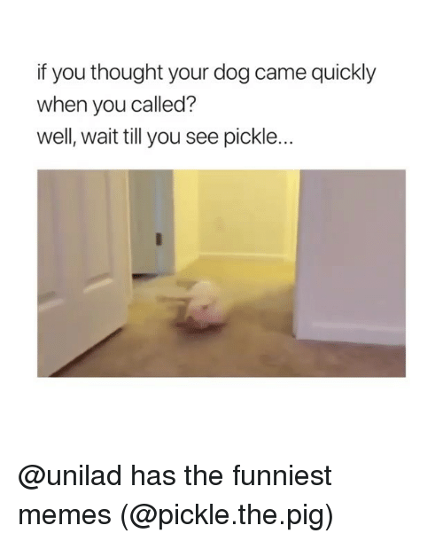 Funny, Memes, and Thought: if you thought your dog came quickly  when you called?  well, wait till you see pickle... @unilad has the funniest memes (@pickle.the.pig)