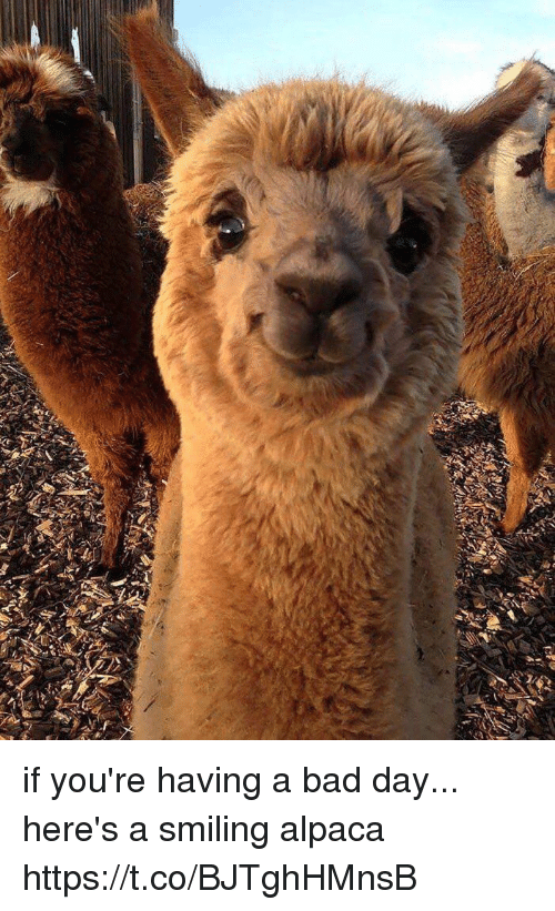 Bad, Bad Day, and Girl Memes: if you're having a bad day... here's a smiling alpaca https://t.co/BJTghHMnsB