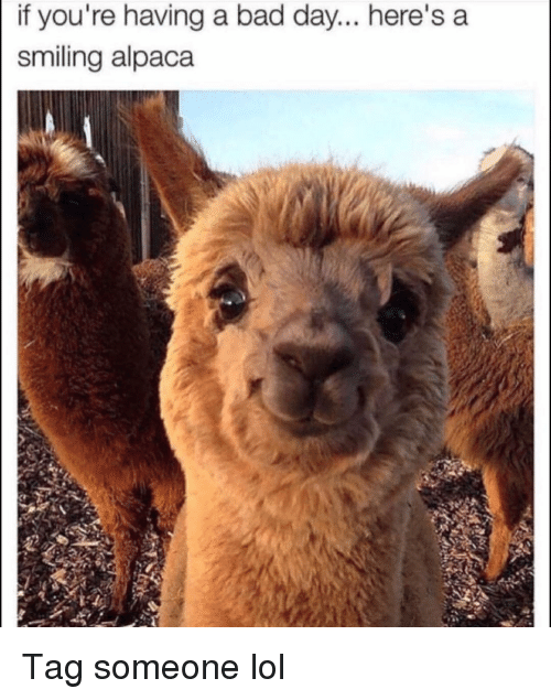 Bad, Bad Day, and Funny: if you're having a bad day... here's a  smiling alpaca Tag someone lol