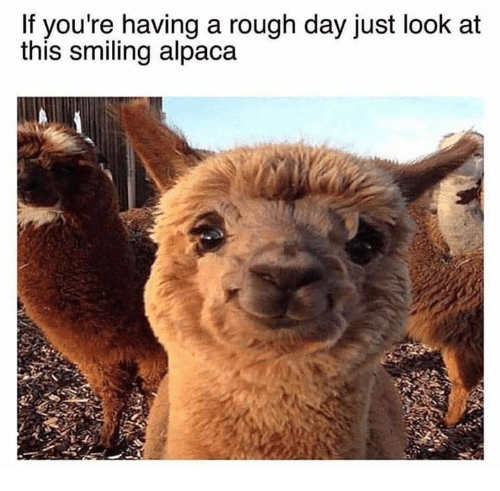 Rough, Alpaca, and Day: If you're having a rough day just l  this smiling alpaca  look at