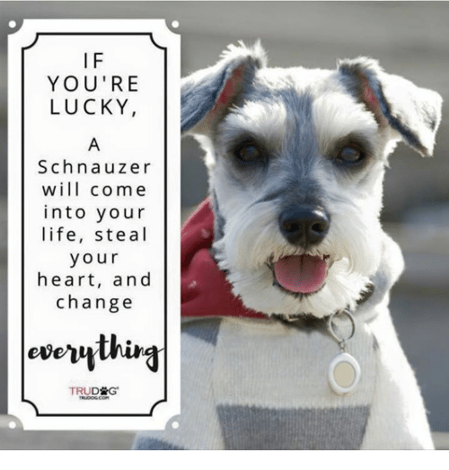 if youre lucky schnauzer will come into your life steal