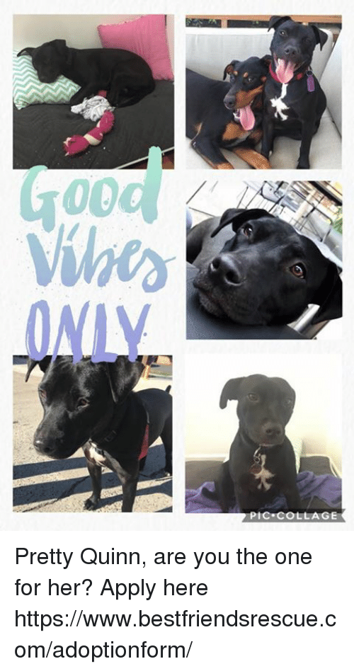 Memes, Collage, and 🤖: ihe  PIC COLLAGE Pretty Quinn, are you the one for her?  Apply here https://www.bestfriendsrescue.com/adoptionform/