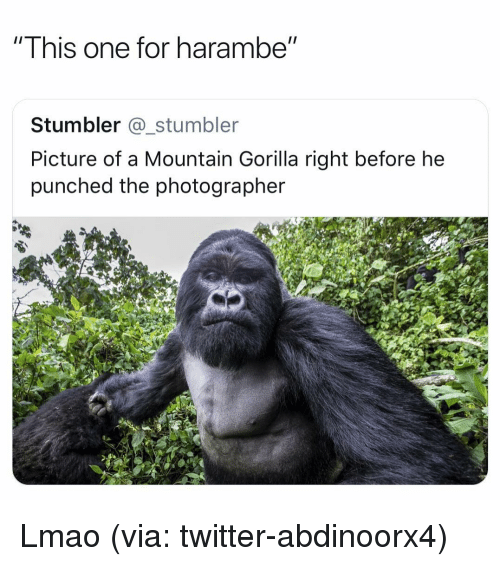 Funny, Lmao, and Twitter: Ihis one for harambe  Stumbler @_stumbler  Picture of a Mountain Gorilla right before he  punched the photographer Lmao (via: twitter-abdinoorx4)