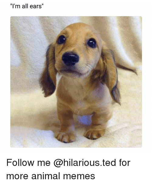"Funny, Memes, and Ted: ""I'm all ears Follow me @hilarious.ted for more animal memes"