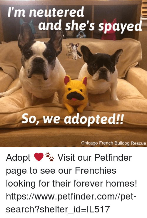 petfinder french bulldog funny french bulldog memes of 2017 on me me frenchie 3133