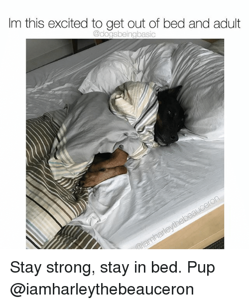 Memes, Strong, and Pup: Im this excited to get out of bed and adult  @dogsbeingbasic Stay strong, stay in bed. Pup @iamharleythebeauceron