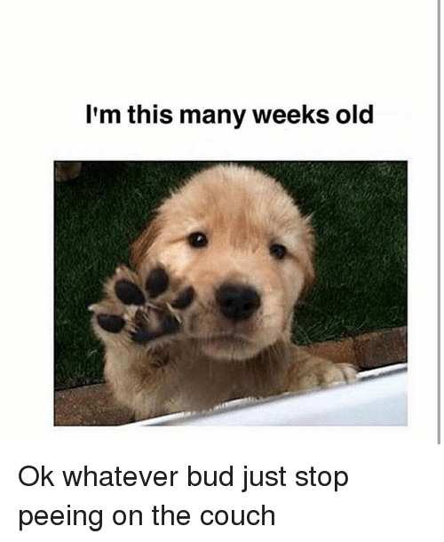 Memes, Couch, and Old: I'm this many weeks old Ok whatever bud just stop peeing on the couch