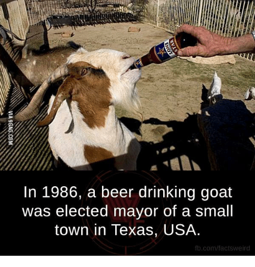 in 1986 a beer drinking goat was elected mayor of a small town in