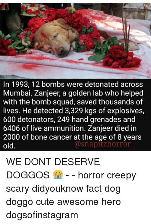 Creepy, Cute, and Memes: In 1993, 12 bombs were detonated across  Mumbai. Zanjeer, a golden lab who helped  with the bomb squad, saved thousands of  lives. He detected 3,329 kgs of explosives,  600 detonators, 249 hand grenades and  6406 of live ammunition. Zanjeer died in  2000 of bone cancer at the age of 8 years  old.  @snapitzhorror WE DONT DESERVE DOGGOS 😭 - - horror creepy scary didyouknow fact dog doggo cute awesome hero dogsofinstagram