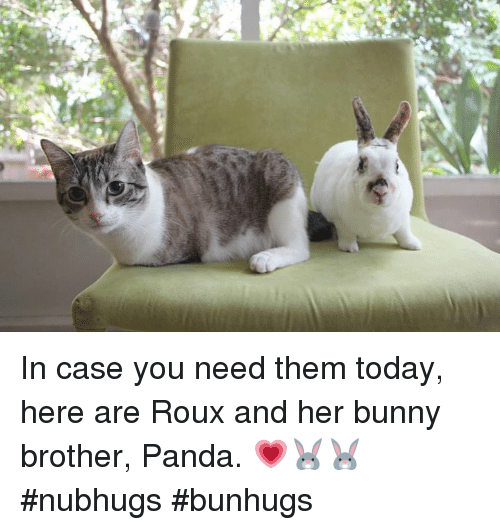 Bunnies, Memes, and Panda: In case you need them today, here are Roux and her bunny brother, Panda. 💗🐰🐰 #nubhugs #bunhugs