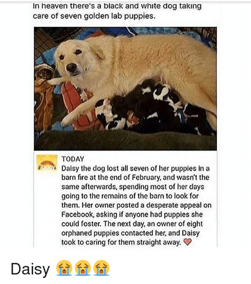 Desperate, Facebook, and Fire: In heaven there's a black and white dog taking  care of seven golden lab puppies.  TODAY  Dalsy the dog lost all seven of her puppies in a  barn fire at the end of February, and wasn't the  same afterwards, spending most of her days  going to the remains of the barn to look for  them. Her owner posted a desperate appeal on  Facebook, asking if anyone had puppies she  could foster. The next day, an owner of eight  orphaned puppies contacted her, and Daisy  took to caring for them straight away. Daisy 😭😭😭