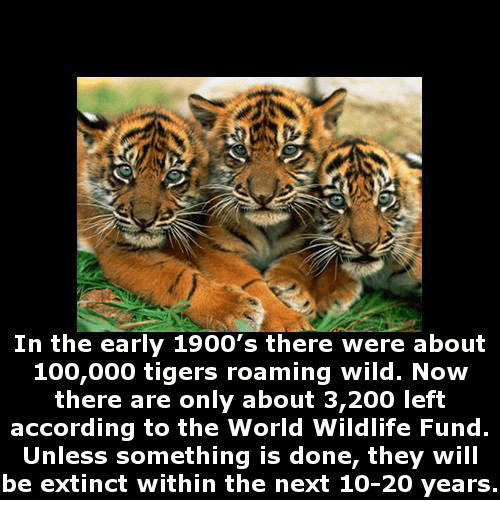 In the Early 1900's There Were About 100000 Tigers Roaming