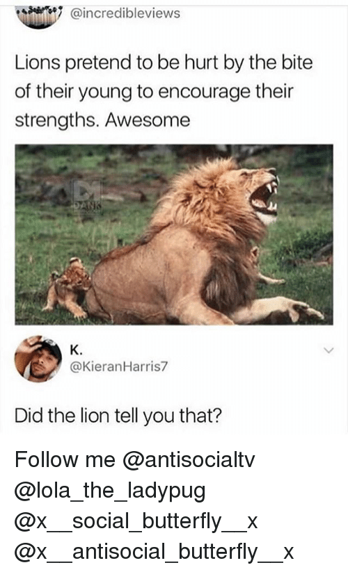 Memes, Butterfly, and Lion: @incredibleviews  Lions pretend to be hurt by the bite  of their young to encourage their  strengths. Awesome  K.  @KieranHarris7  Did the lion tell you that? Follow me @antisocialtv @lola_the_ladypug @x__social_butterfly__x @x__antisocial_butterfly__x