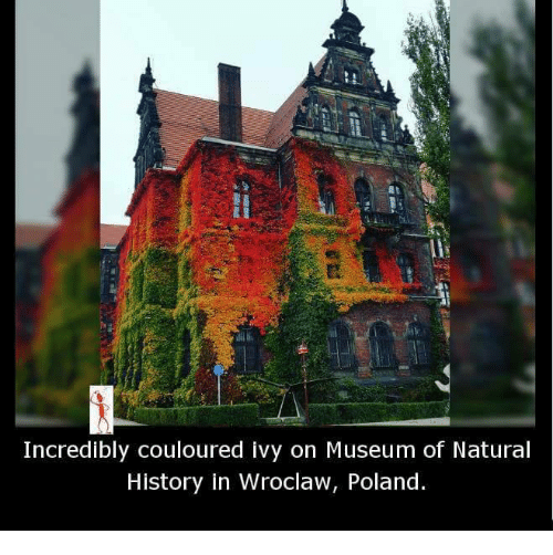 Memes, History, and Nature: Incredibly couloured Ivy on Museum of Natural  History in Wroclaw, Poland.