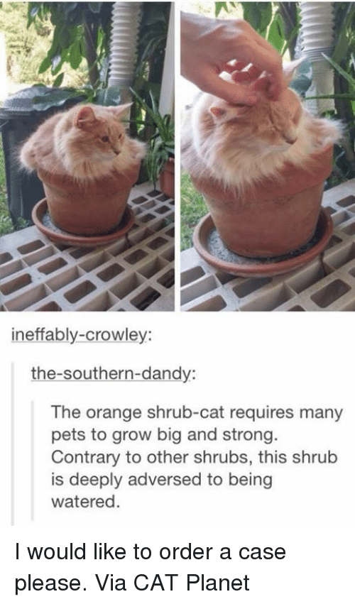 Memes, Pets, and Orange: ineffably-crowley:  the-southern-dandy:  The orange shrub-cat requires many  pets to grow big and strong  Contrary to other shrubs, this shrub  is deeply adversed to being  watered. I would like to order a case please. Via CAT Planet