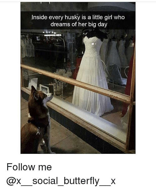 Memes, Butterfly, and Girl: Inside every husky is a little girl who  dreams of her big day Follow me @x__social_butterfly__x