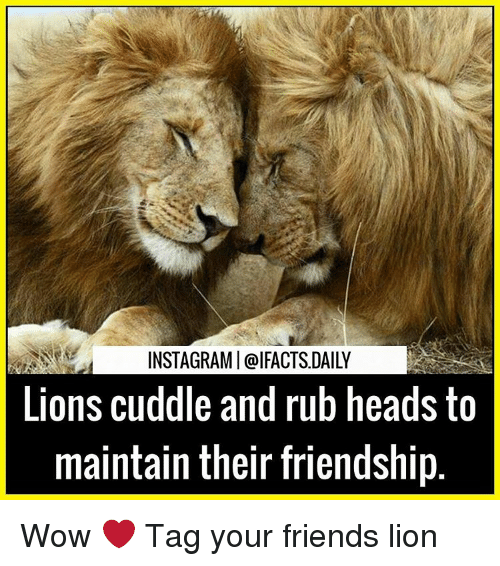 I Want To Cuddle With You Quotes: 25+ Best Memes About Lions
