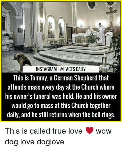 Church, Memes, and German Shepherd: INSTAGRAMI@IFACTSDAILY  This is Tommy, a German Shepherd that  attends mass every day at the Church where  his owners funeral was held. He and his owner  would go to mass at this Church together  daily, and he still returns when the bell rings This is called true love ❤ wow dog love doglove