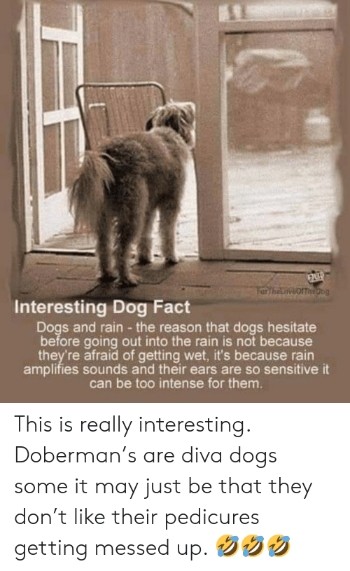 Dogs, Memes, and Doberman: Interesting Dog Fact  Dogs and rain the reason that dogs hesitate  before going out into the rain is not because  they're afraid of getting wet, it's because rain  amplifies sounds and their ears are so sensitive it  can be too intense for them. This is really interesting.   Doberman's are diva dogs some it may just be that they don't like their pedicures getting messed up. 🤣🤣🤣