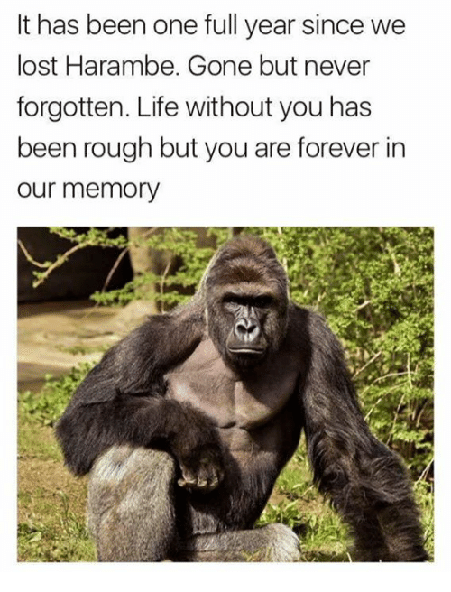 Life, Lost, and Never: It has been one full year since we  lost Harambe. Gone but never  forgotten. Life without you has  een roU  our memory