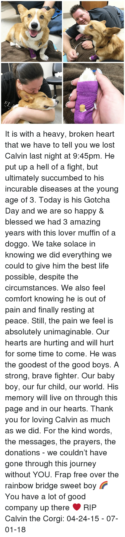 Blessed, Corgi, and Journey: It is with a heavy, broken heart that we have to tell you we lost Calvin last night at 9:45pm. He put up a hell of a fight, but ultimately succumbed to his incurable diseases at the young age of 3. Today is his Gotcha Day and we are so happy & blessed we had 3 amazing years with this lover muffin of a doggo. We take solace in knowing we did everything we could to give him the best life possible, despite the circumstances. We also feel comfort knowing he is out of pain and finally resting at peace. Still, the pain we feel is absolutely unimaginable. Our hearts are hurting and will hurt for some time to come. He was the goodest of the good boys. A strong, brave fighter. Our baby boy, our fur child, our world. His memory will live on through this page and in our hearts. Thank you for loving Calvin as much as we did. For the kind words, the messages, the prayers, the donations - we couldn't have gone through this journey without YOU. Frap free over the rainbow bridge sweet boy 🌈 You have a lot of good company up there ❤️ RIP Calvin the Corgi: 04-24-15 - 07-01-18