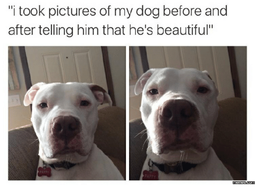 "Before and After, Beauty-Memes, and Beautiful-Meme: 'itook pictures of my dog before and  after telling him that he's beautiful""  Memes CONM"