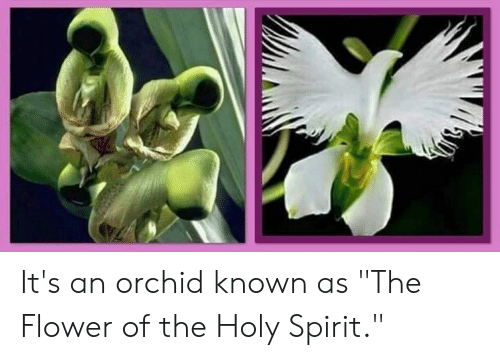 Flower Flower Of The Holy Spirit Orchid