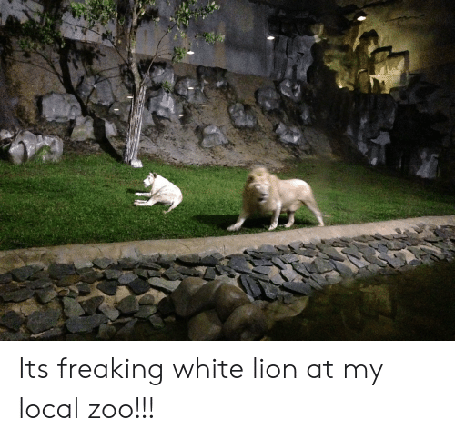 Lion, White, and Zoo: Its freaking white lion at my local zoo!!!