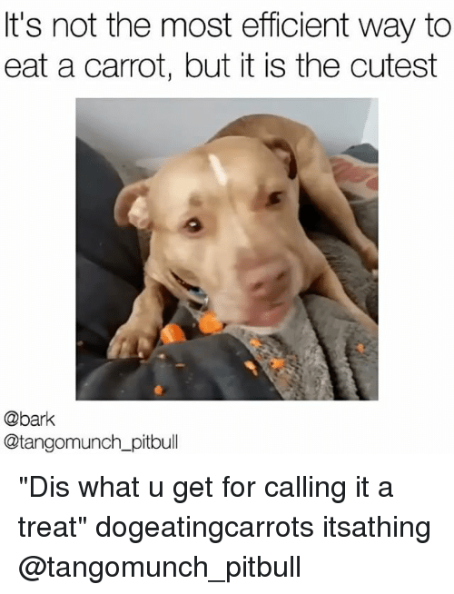"Memes, Pitbull, and What U: It's not the most efficient way to  eat a carrot, but it is the cutest  @bark  Gaetangomunch pitbull ""Dis what u get for calling it a treat"" dogeatingcarrots itsathing @tangomunch_pitbull"