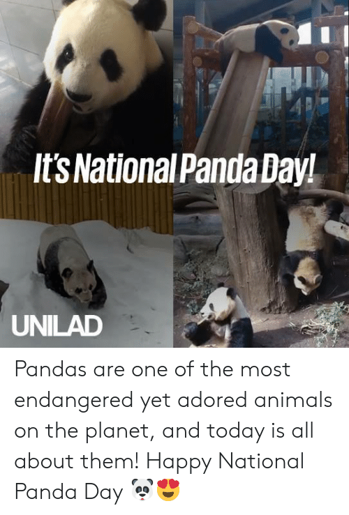 Animals, Dank, and Panda: It'sNationalPanda Day!  UNILAD Pandas are one of the most endangered yet adored animals on the planet, and today is all about them! Happy National Panda Day 🐼😍